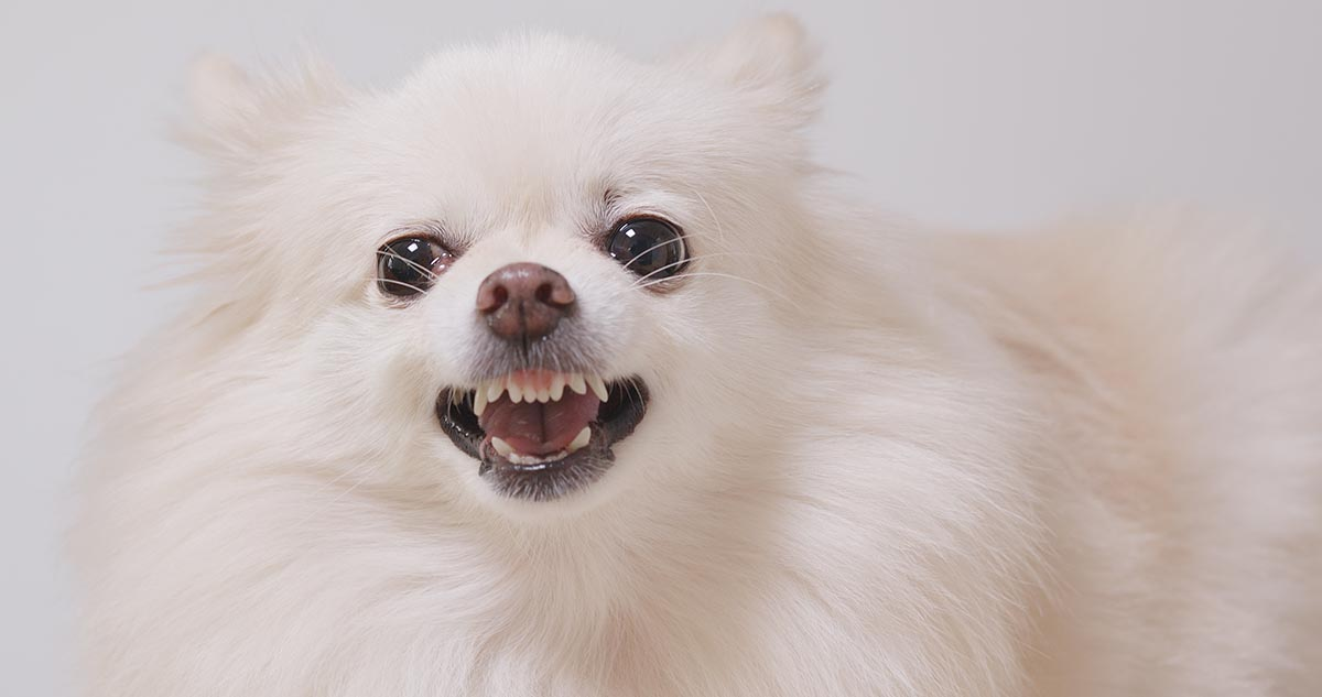 angry pomeranian dog showing teeth to bite